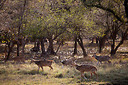 Spotted deer, Axis axis, (Chital) herd, with black drongo bird on back, in Ranthambhore National Park, Rajasthan, Northern India