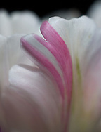 Macro of parrot tulip petal reveals a soft sweep of pink across white and the shape of a heart.<br />