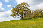 Spring leaves growing mature oak tree, Quercus Robur, in field on hillside, Cherhill, Wiltshire, England, UK