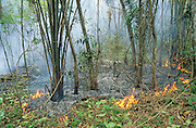 RAINFOREST FIRES DEFORESTATION, Amazon, near Boavista, northern Brazil, South America. Burning undergrowth during very dru season. Ecological biosphere and fragile ecosystem where flora and fauna, and native lifestyles are threatened by progress and development. The rainforest is home to many plants and animals who are endangered or facing extinction. This region is home to indigenous primitive and tribal peoples including the Yanomami and Macuxi.