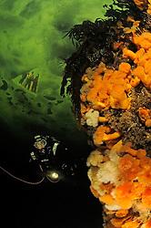 Brown Sea Anemone, Metridium senile, and kelp, Laminariales, and scuba ice diver under ice, Russia, White Sea, MR