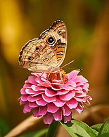 Common Buckeye Butterfly on a Zinnia Flower. Image taken with a Nikon 1 V3 camera and 70-300 mm lens