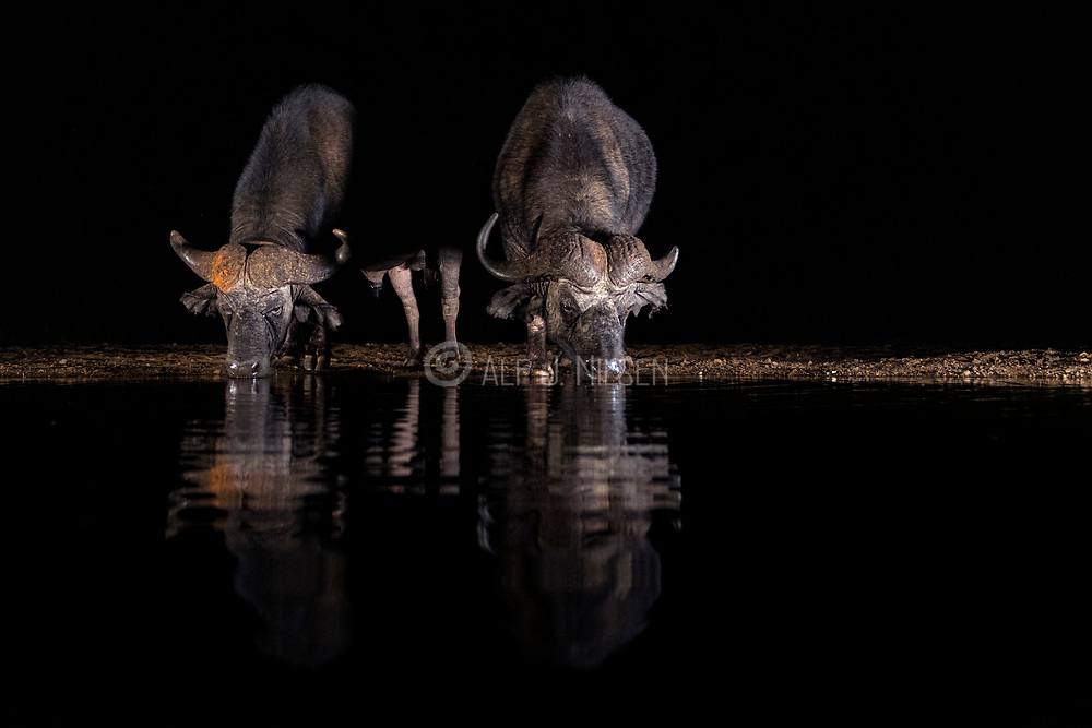 Cape buffalos (Syncerus caffer) drinking in Zimanga Private Reserve, South Africa.
