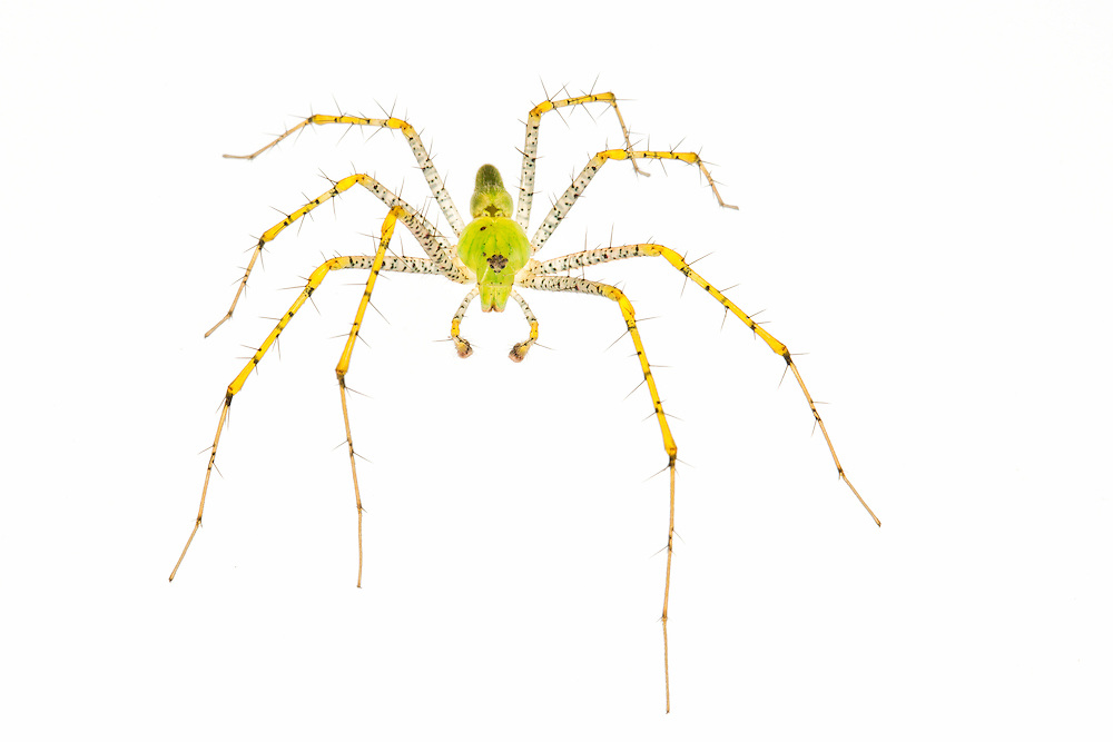 Studio portrait of a Green Lynx spider on a white backdrop.