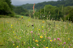 Meadow with red clover, bird's foot trefoil and sorrel