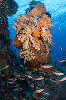 Fusiliers congregate in front of a large, Soft Coral encrusted pillar<br /> <br /> Shot in Raja Ampat Marine Protected Area West Papua Province, Indonesia