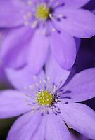 Blue anemone, Hepatica nobilis, Sabysjon, Uppland, Sweden