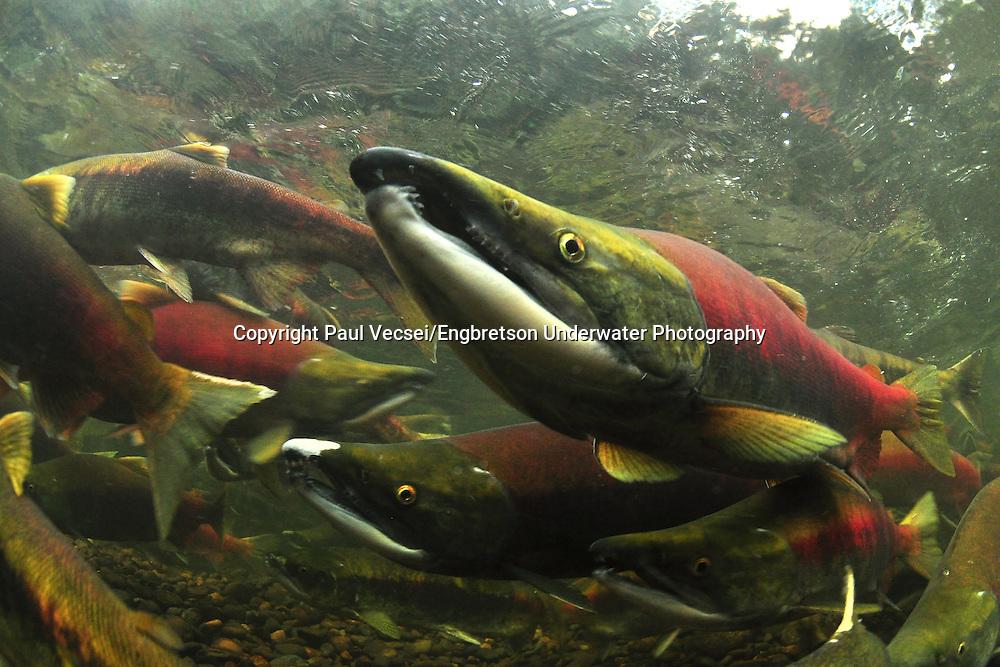 Sockeye Salmon<br /> <br /> Paul Vecsei/Engbretson Underwater Photography