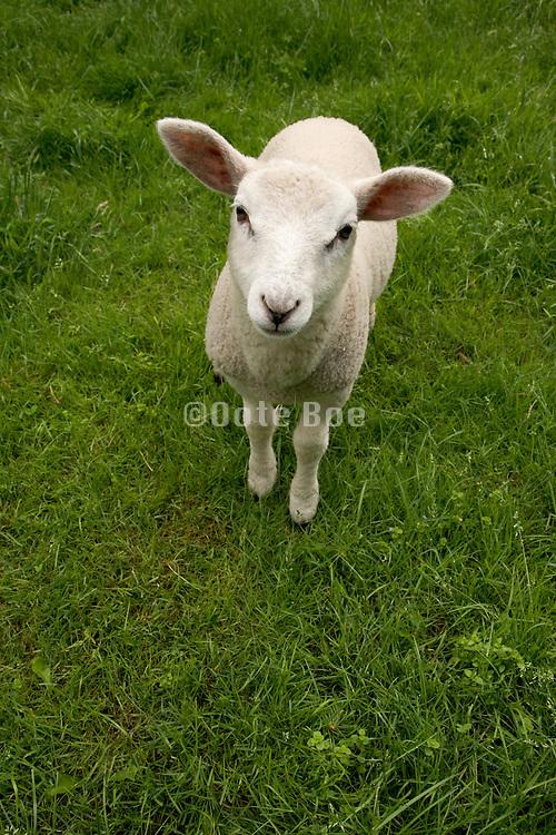 lamb standing in grass field