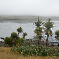 New Zealand Cabbage Palms alms grow on the shore of Carcass Island in the otherwise largely-treeless British Falkland Islands.