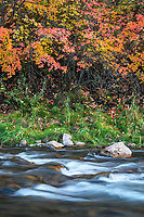Vibrant maple leaves line the banks of the Ogden River in Northern Utah during Fall as the water smoothly rushes by.