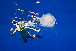Snorkeler and Crowned Jellyfish, Cephea cephea, an offshore, pelagic species, Order Rhizostomeae - Root-mouth Jellies, Family Cepheidae, off Kona Coast, Big Island, Hawaii, Pacific Ocean.