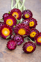 Bunch of Helichrysum bracteatum syn. Xerochrysum bracteatum 'Dragon Fire' - Strawflower, Everlasting Flower, Immortelle