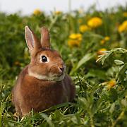 Judi - Mini Rex Rabbits