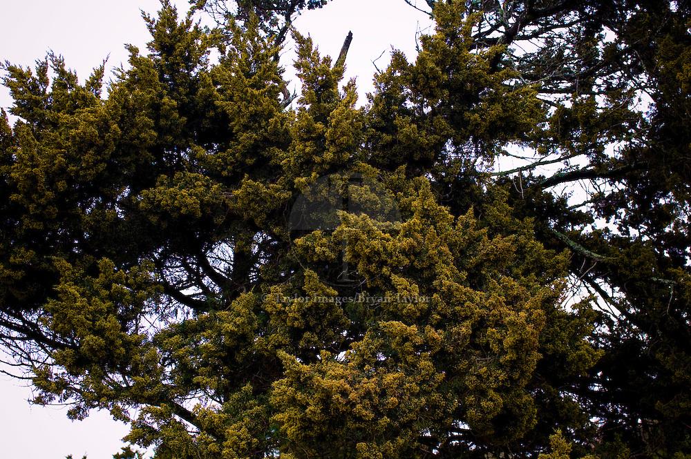 Texture of leaves on scrub tree in Pawleys Island, South Carolina.