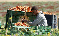 30.04.2015, Tammun, PSE, Karotten Ernte im Nahen Osten, im Bild Arbeiter und Bauern bei der Karotten Ernte auf einem Feld // A Palestinian farmer harvests a carrot crop, in Tammun village, near the West Bank town of Tubas. The war between Israel and Gaza in the summer of 2014 drove the Palestinian economy of Gaza and the West Bank into its first contraction since 2006, the International Monetary Fund said in January 2015. The turmoil has left unemployment very high in both areas, 19 percent in the West Bank and 41 percent in Gaza. Photo by Nedal Eshtayah, Palestine on 2015/04/30. EXPA Pictures © 2015, PhotoCredit: EXPA/ APAimages/ Nedal Eshtayah<br /> <br /> *****ATTENTION - for AUT, GER, SUI, ITA, POL, CRO, SRB only*****