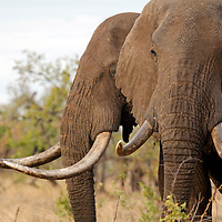 "Africa, Kenya, Meru. Male ""bull"" elephants sporting long tusks in Meru National Park."