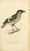 Eurylaimus horsfieldii Actually Eurylaimus javanicus (Banded Broadbill) from volume XIII (Aves) Part 2, of 'General Zoology or Systematic Natural History' by British naturalist George Shaw (1751-1813). Griffith, Mrs., engraver. Heath, Charles, 1785-1848, engraver. Stephens, James Francis, 1792-1853 Published in London in 1825 by G. Kearsley