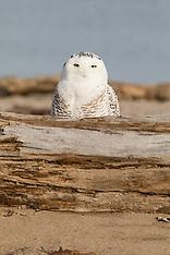 Snowy Owls - Rochester, NY 2017