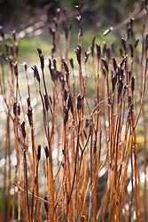 Iris seedheads