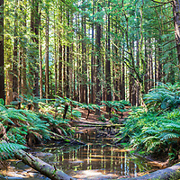 Redwoods Forest - Otways - Victoria - Australia