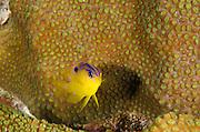 Longfin Damselfish Juvenile (Stegastes diencaeus) & Great Star Coral (Montastraea cavernosa)<br /> BONAIRE, Netherlands Antilles, Caribbean<br /> HABITAT & DISTRIBUTION: Shallow to mid-range reefs<br /> Florida, Bahamas, Caribbean, Gulf of Mexico