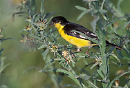 Lesser Goldfinch - Carduelis psaltria - (Black-backed form)
