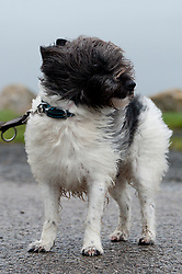 © Licensed to London News Pictures. 14/01/2020. Porthcawl, Bridgend, Wales, UK. Toby, a Jack Russell/Westie cross, gets set for a walk in gale force winds on the beach at Rest Bay near Porthcawl in Bridgend as wild weather continues following storm Brendan's arrival on the Welsh coast yesterday. Photo credit: Graham M. Lawrence/LNP