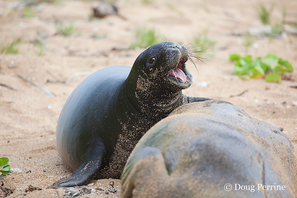 Hawaiian monk seals, Monachus schauinslandi, Critically Endangered endemic species, 5-week old pup (will be weaned in 6 days), with strand of thick, rich milk stretched between jaws, crying for more milk while mother naps, Larsen's Beach, Moloa'a, Kauai, Hawaii ( Central Pacific Ocean )