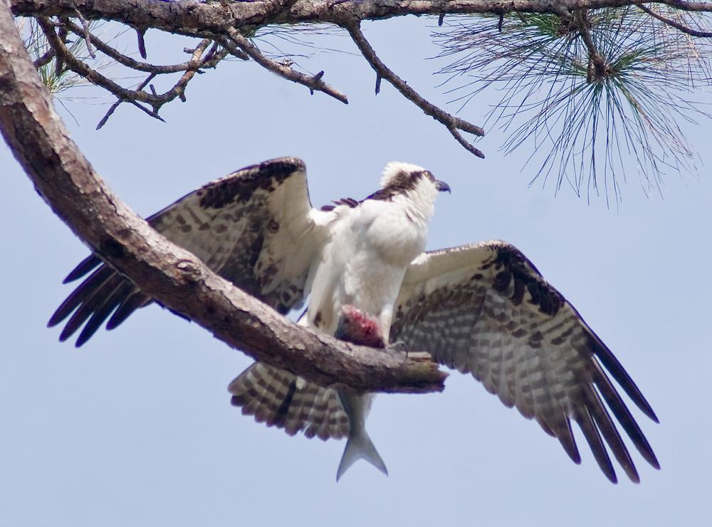 Osprey on Alert