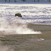 WYOMING. Bison grazing near hot springs in Yellowstone National Park.