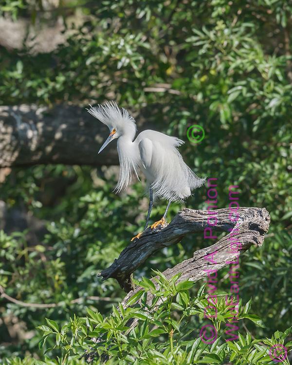 Snowy egret displays breeding plumage. subtropical forest wetland, © David A. Ponton