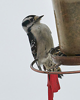 Downy Woodpecker (Dryobates pubescens). Image taken with a Leica SL2 camera and Sigma 100-400 mm lens.