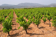 Domaine Mas Jullien, Jonquieres village. Mont Baudille. Terrasses de Larzac. Languedoc. France. Europe. Vineyard.