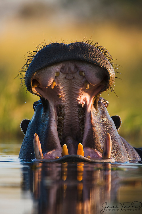 A hippopotamus (Hippopotamus amphibious) aggressively displays teeth and open mouth when approached too closely in the water, Khwai River, Botswana