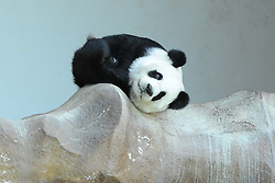 CHIANG MAI, Sept. 13, 2016 (Xinhua) -- Giant panda Lin Hui rests on a rockery at Chiang Mai Zoo in north Thailand's Chiang Mai, Sept. 13, 2016. Chuang Chuang and Lin Hui, an expatriate giant panda couple from China, have settled down in north Thailand's Chiang Mai Zoo since October 2003. Their cub Lin Bing, born in May 2009, is the first giant panda born in Thailand. Currently the couple still lives in Chiang Mai Zoo and continues to attract fans and visitors, while Lin Bing had been sent back to China in 2013. (Xinhua/Rachen Sageamsak).****Authorized by ytfs* (Credit Image: © Rachen Sageamsak/Xinhua via ZUMA Wire)