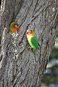 Africa, Tanzania, Serengeti National Park, Fischer's Lovebird, (Agapornis fischeri) looking out of the opening in the tree nest