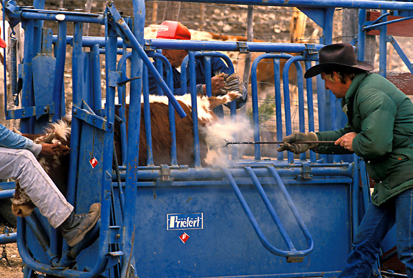 man branding a cow behind a fence