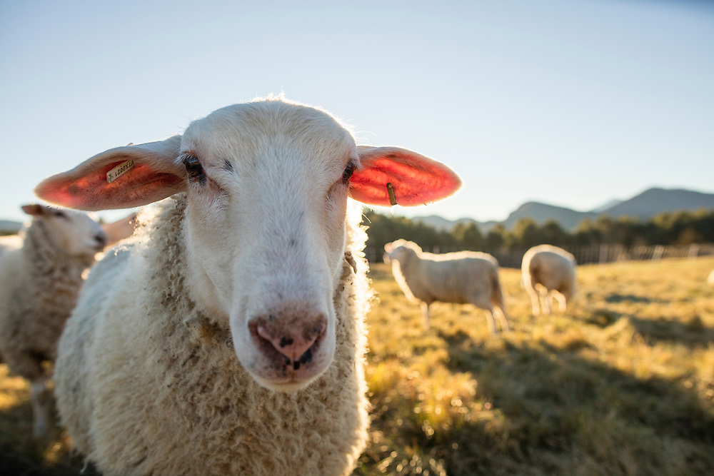 Portrait of a sheep in a pasture looking at the camera