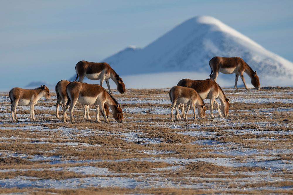 Kiang or Tibetan Wild ass, Equus kiang, Keke Xili / Hoh Xil nature reserve, Tibetan High plateau, Qinghai, China