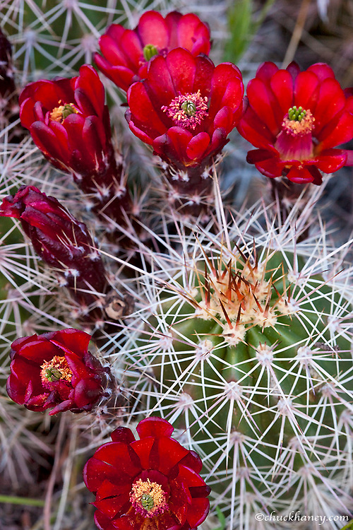 Claret Cup cactus blooms in desert setting near Zion National Park in Utah