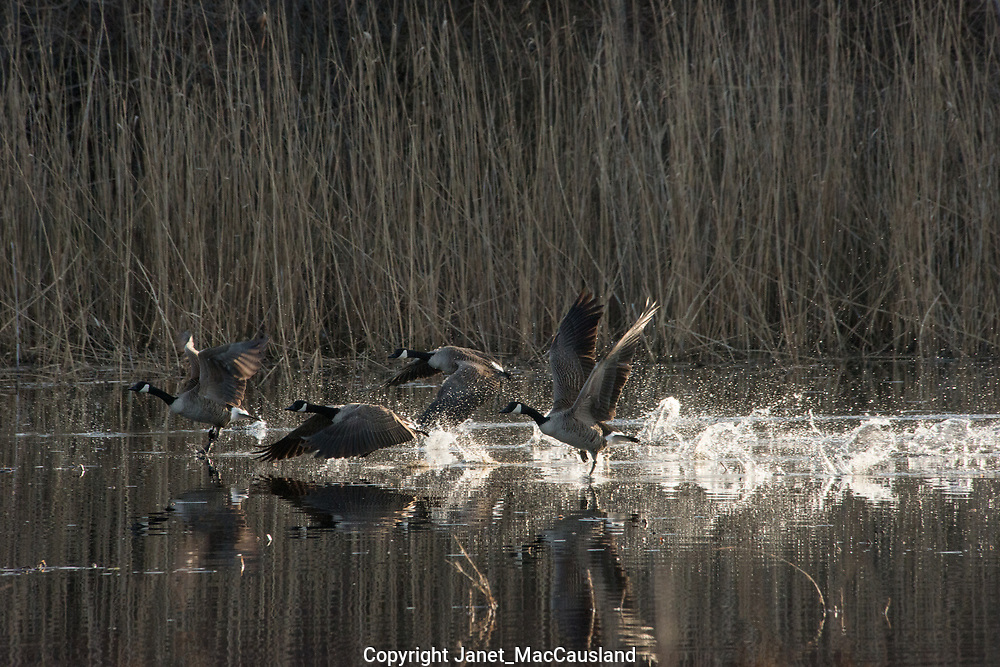 A flock of Canada Goose (Branta canadensis) flap and run over a pond to become airborne.