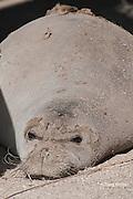Hawaiian monk seal, Monachus schauinslandi ( Critically Endangered ), 2.5 year old male with old fur still clinging to face and back during annual molt, Pu'uhonua o Honaunau ( City of Refuge ) National Historical Park, Kona, Hawaii ( the Big Island )