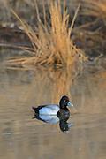 Bluebill (Scaup) Drake in breeding plumage