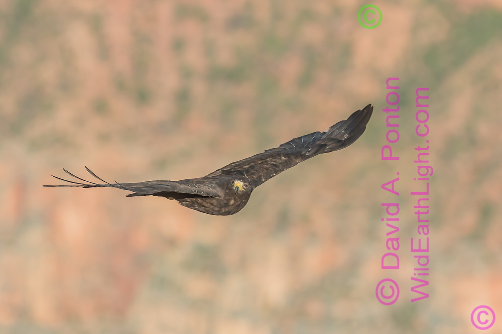 Zone-tailed hawk in flight, Grand Canyon, AZ, © David A. Ponton