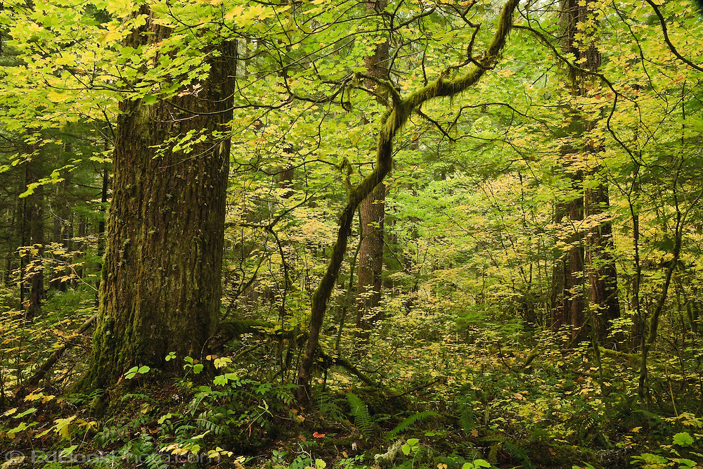 Vine Maple growing in an old growth forest along the Ohanapecosh River in the Gifford Pinchot National Forest, Washington, USA