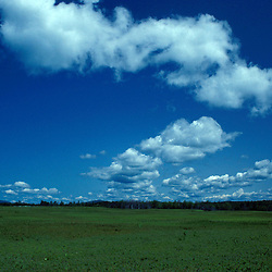 Washington County, ME. A field of blueberries under puffy cumulus clouds.