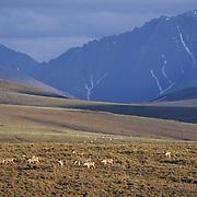 Barren Ground Caribou (Rangifer arcticus).  A porcupine herd in the Arctic National Wildlife Refuge,  Alaska. .Barren Ground Caribou (Rangifer arcticus).  A porcupine herd in the Arctic National Wildlife Refuge, Alaska.