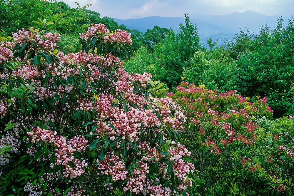 Mountain laurel (Kalmia latifolia), June, Blue Ridge Parkway, Great Smoky Mountains National Park, Tennessee, USA