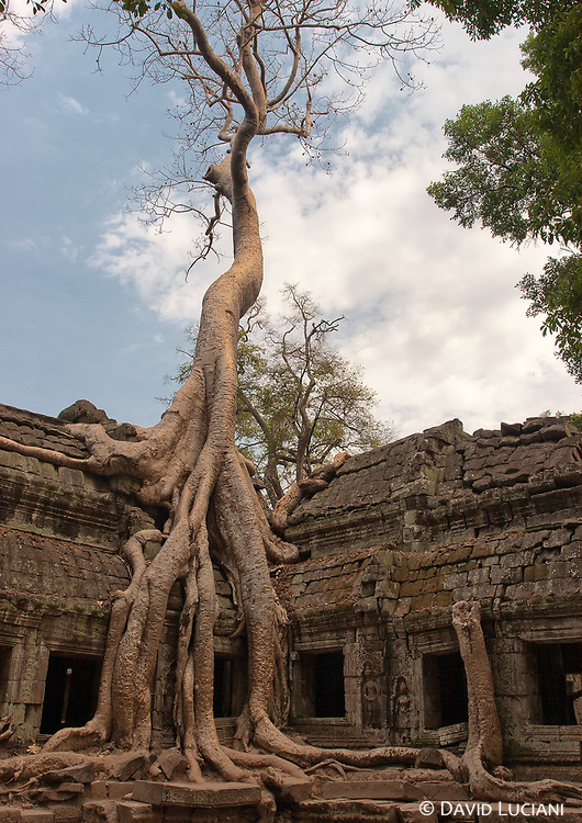 An ancient stone inscription in Ta Prohm indicates that over 16000 farmers were producing over 2500 tons of rice in a year, to feed the monks, the nuns, the workers and the dancers of Ta Prohm.